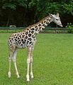 Giraffa camelopardalis rothschildi (young).jpg