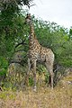Giraffe at Kruger National Park, Limpopo, South Africa (20544197055).jpg