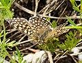 Glanville Fritillary. Mellitaea cinxia (44746685444).jpg