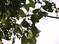 Glochidion ellipticum var. ellipticum (16017596319).jpg