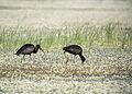 Glossy ibis (Plegadis falcinellus), Skala Kallonis, Lesvos, Greece, 19.04.2015 (16689892653).jpg