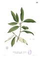 Glycosmis pentaphylla Blanco1.138.png