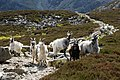 Goats on the Miner's Track - geograph.org.uk - 1326872.jpg