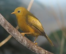 Yellow bird with brown tint on wings and metal ring faces left