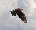 Golden Eagle in flight - 4.jpg