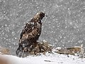 Golden eagle on Seedskadee (27164786048).jpg