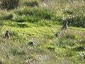 Golden plovers on the Foumart Hills - geograph.org.uk - 1469512.jpg