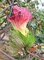 Gossypium arboreum kz3.JPG