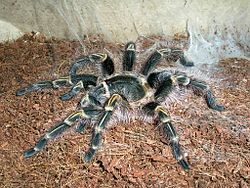 Grammostola pulchripes L9 female.jpg