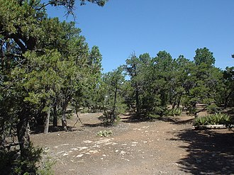 Pinyon pine - A forest of two-needle piñons in Grand Canyon National Park, Arizona.