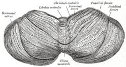 Primary fissure of cerebellum - Wikipedia