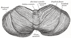 Culmen (cerebellum) - Upper surface of the cerebellum. (Culmen labeled near center.)