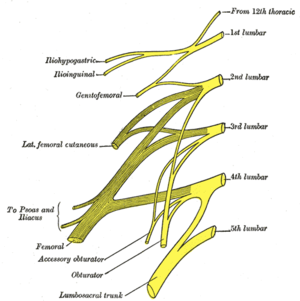 Accessory obturator nerve - Plan of lumbar plexus (accessory obturator visible at bottom left).