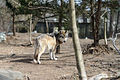 Gray Wolf in Habitat (8565963244).jpg