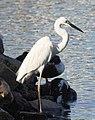 Great Egret Ardea alba by Dr. Raju Kasambe DSCN6547 (24).jpg