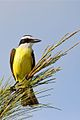Great Kiskadee (6907342101).jpg