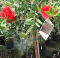 Great Swamp Greenhouse photos Scarlet Bottlebrush.JPG