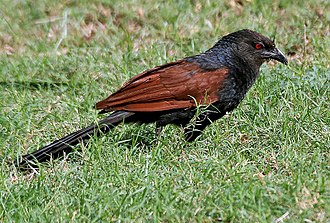 Coucal - Greater coucal Centropus sinensis in Hyderabad, India