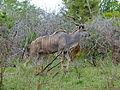 Greater Kudu (Tragelaphus strepsiceros) (11515998065).jpg