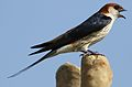 Greater Striped Swallow, Hirundo cucullata (syn. Cecropis cucullata), at Marievale Nature Reserve, Gauteng, South Africa (30420096631).jpg