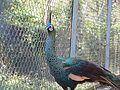 Green Peafowl Pavo muticus Manipur by Dr. Raju Kasambe P1280796 (1).jpg