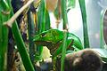 Green tree frog 0380.jpg