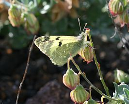 Greenish Black-tip (Euchloe charlonia).jpg