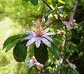 Grewia occidentalis, blomme, Skeerpoort.jpg