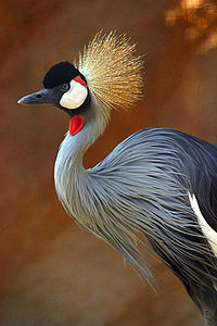 Grey Crowned Crane.jpg
