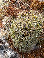 Grimmia pulvinata 125043002.jpg