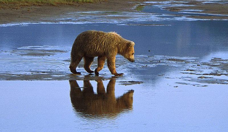 File:Grizzly Wasser.jpg