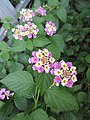 HK CWB 銅鑼灣道 Causeway Bay Road plant 馬纓丹 Lantana camara 火龍徑 Fire Dragon Path Nov 2017 IX1 colour small flowers 08.jpg