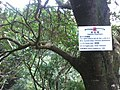 HK Old Peak Road tree trunk Highways Dept Sweet Viburnum Odoratissimum Dec-2012.jpg