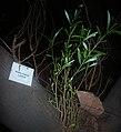HK Plant Acacia confusa 01a.jpg