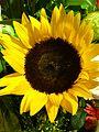 HK Sai Wan Ho flower July-2013 yeloow Sunflower.JPG