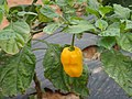 Hainan Yellow Lantern Chili plants - 03.jpg