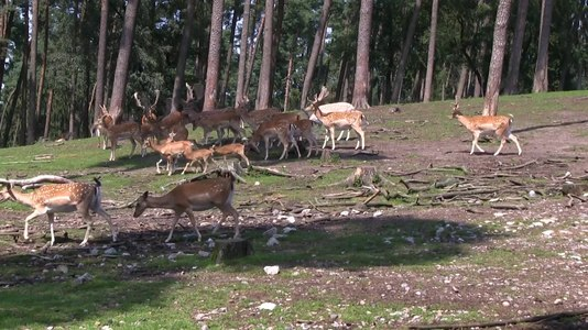 File:Haltern - Naturwildpark Granat - Dama dama dama 15 (1) ies.webm