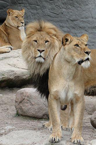 Tierpark Hagenbeck - Lions in Hagenbeck Zoo