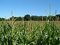 Hampton maize - geograph.org.uk - 210586.jpg