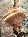 Hapalopilus rutilans 65208033.jpg