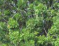 Harpephyllum caffrum Anacardiaceae 6396s.jpg