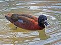 Hartlaub's Duck RWD.jpg