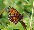 Heath Fritillary (Melitaea athalia) - Flickr - gailhampshire.jpg