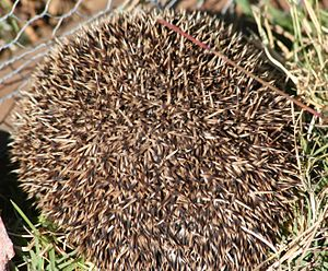 Southern African hedgehog - Curled into a protective ball