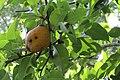 Heiffer Pear 19-10-12 019.jpg