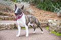 Helina-bull-terrier-miniature.jpg