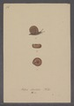 Helix obvoluta - - Print - Iconographia Zoologica - Special Collections University of Amsterdam - UBAINV0274 089 01 0031.tif