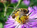 Helophilus hybridus. Syrphidae - Flickr - gailhampshire.jpg