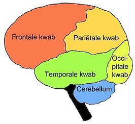 hersenen frontale kwab