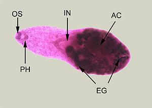 Heterophyes heterophyes - Adult specimen stained with carmine
